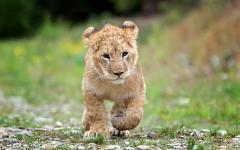 Africa_Kenya_Baby_Lion_Cub