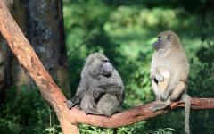 africa_kenya_lake_nukuru_national_park_baboon