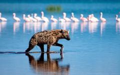 Africa_Kenya_Spotted_Hyena_Hunt