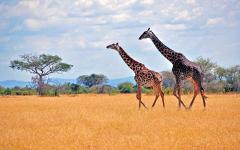 Africa_Kenya_Tanzania_Serengeti_Giraffe_Wild