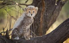 africa_tanzania_cheetah_cub_in_tree_serenget