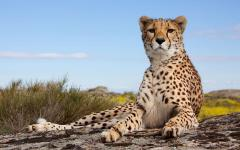 Africa_Tanzania_Cheetah