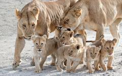 Africa_Tanzania_Serengeti_Lionesses_Cubs