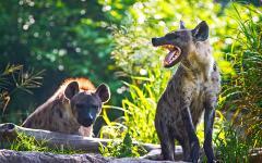 africa_tanzania_spotted_hyena