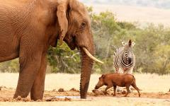 Africa_Tanzania_Warthog_Elephant_Zebra_Watering_Hole
