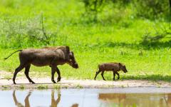 Africa_Tanzania_Warthogs_water_hole_Tarangire_national_park