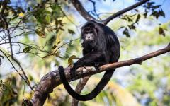 Black howler monkey in the jungle of Belize.