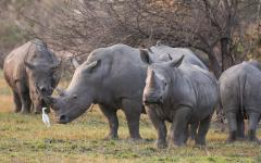Rhinos grazing with oxpeckers at Moremi Game Reserve.