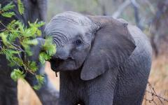 Little elephant calf grasping a leafy branch with its trunk