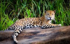 A jaguar in the Amazon Rainforest.