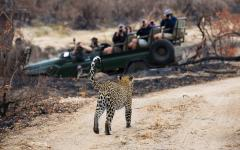 Safari vehicle with tourists gazing at and photographing an Africa leopard