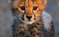 A cheetah cub.