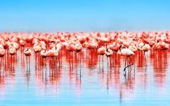 Flamingo Flock in Lake Nakuru Kenya Africa