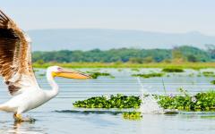 Pelican flying in Kenya Africa