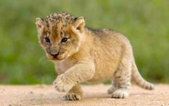 Little lion cub trotting on the dirt in South Africa