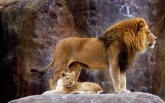 Lion and cub.