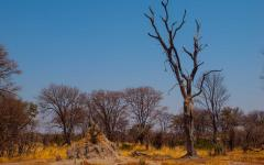 A termite hill surrounded by dead/ dry trees in Botswana, Africa