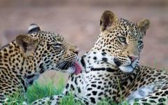 Leopard cubs in Botswana.