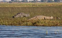 Pair of crocodiles lying in the tall grass in the Okavango Delta | Botswana, Africa