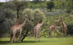 Giraffes in Kgalagadi Transfrontier Park.