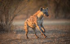 A spotted Hyena in Chobe National Park, Botswana.