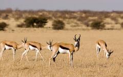 Springbok (antelope) in Botwana's Central Kalahari Game Reserve.