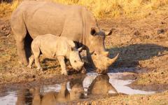 A white rhino and calf in Botswana.