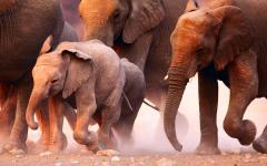 Elephant herd on the run