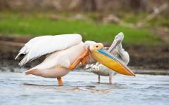 A pair of great white pelicans wading in shallow water in Kenya, Africa
