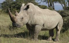 a large white rhino in a national park