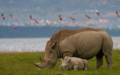 A baby rhino laying next to its mother with flock of flamingos flying in the background   Kenya, Africa