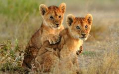 Lion cubs cuddling in Kenya Africa