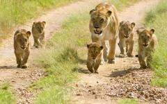 Lioness walks along a path with her cubs.
