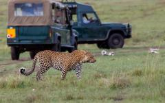 A regal African leopard with a safari tour in the background | Kenya, Africa