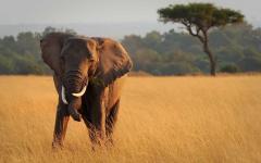 Elephant eating on the Masai Mara National Reserve in Kenya, Africa