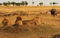 Trio of male lions laying on a dusty mound with a water buffalo standing in the background   Kenya, Africa