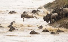 Wildebeest crossing a river in Masai Mara National Park Kenya Africa