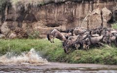 Herd of wildebeest jumping into a river attempting to cross it   Kenya, Africa