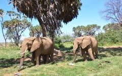 Herd of Kenyan elephants in the Samburu National Reserve
