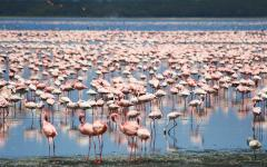 Flock of flamingos standing in shallow water in Tanzania, Africa
