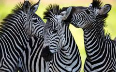 Spot zebras on safari.