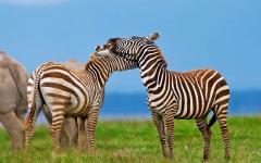 Two Kenyan zebras embracing each other   Lake Nakuru National Park
