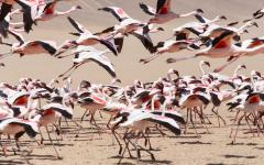 Flamingos in Namibia.