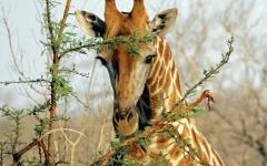 African giraffe reaching up high and eating leaves off of a tall tree