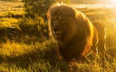 Majestic image of a male lion with the sunset at his back