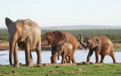 South African elephant family leaving a waterhole after a drink and a bath