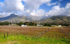 Vineyard with mountain range in the background in the wineland area | Franschhoek, South Africa