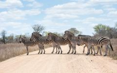 Herd of zebra in a perfect line crossing a dirt road in Kruger National Park, South Africa