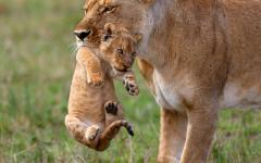 A lioness carries her cub in Tanzania.