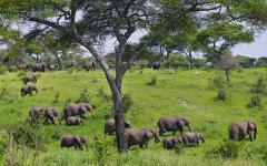 an elephant herd in tarangire national park